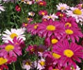 Pyrethrum Daisy Perennial Plant Mixed Colors Flower 500 Seeds
