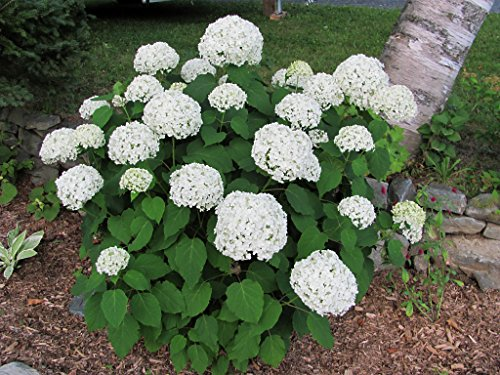 Grower 39 s solution annabelle hydrangea arborescens annabelle 3 1 2 potted shrub 6 12 - Care potted hydrangea ...