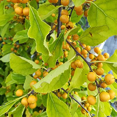 20 Seeds Celastrus Orbiculatus Bittersweet Vine Garden tkgre : Garden & Outdoor
