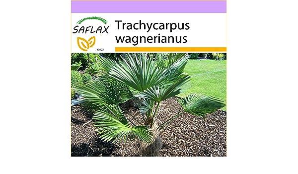 SAFLAX - Palmito wagnerianus - 4 semillas - Trachycarpus ...