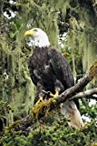 Pictures of Birds / Animals - American Bald Eagle / Landscape Photographs of Alaska | Fine Art Photographs and Home Decor Pictures for Living Room / Bedroom / Office