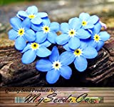 1 LB (640,000+) FRENCH FORGET ME NOT, Myosotis sylvatica Flower Seeds - PERENNIAL ZONE 3 - 9 By MySeeds.Co (1 LB French BLUE)