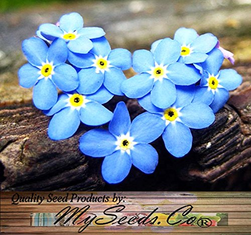 1oz (40,000+) FRENCH FORGET ME NOT, Myosotis sylvatica Flower Seeds – PERENNIAL ZONE 3 – 9 By MySeeds.Co (1oz French…