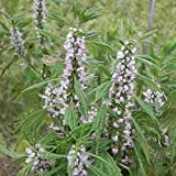 Motherwort Seeds (Leonurus cardiaca) 100+ Rare Medicinal Herb Seeds in FROZEN SEED CAPSULES for the Gardener & Rare Seeds Collector - Plant Seeds Now or Save Seeds for Years