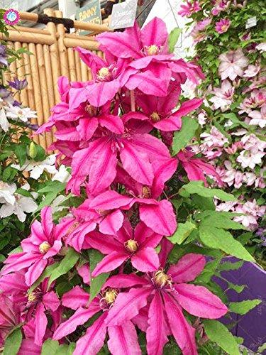 Pinkdose 1 1bulb true pink clematis bulbs clematis flower not pinkdose 1 1bulb true pink clematis bulbs clematis flower not clematis mightylinksfo