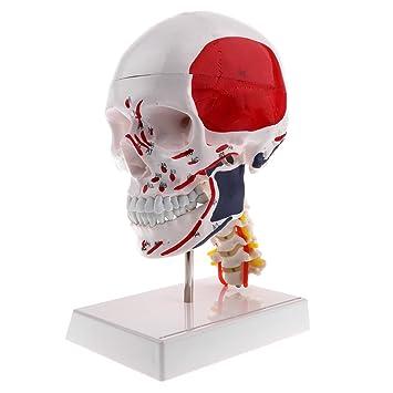 Baoblaze 1: 1 Menschlicher Kopf Schädel Skelett mit Halswirbel ...