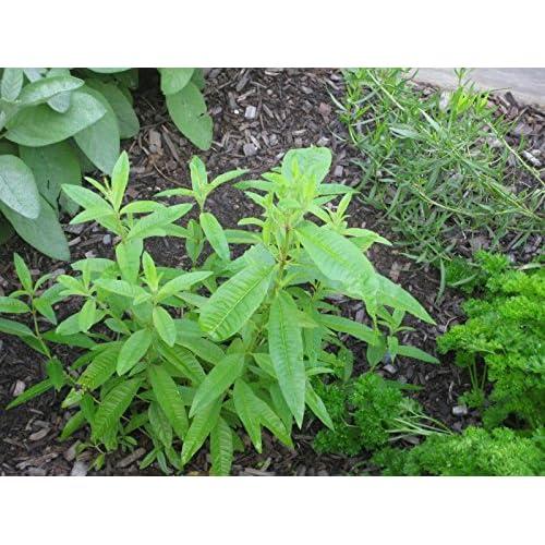 2 LEMON VERBENA Live Plants Herb Plant Non-GMO Organic - TWO [2 ...