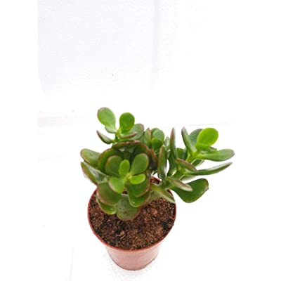 """Jade Live Plant Crassula Ovuta Easy to Grow 2.5"""" Pot White or Pink Flowers Indoor Houseplant - USA_Mall : Garden & Outdoor"""