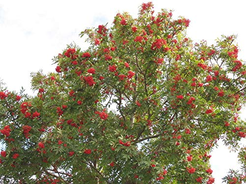 - Details About American Mountain Ash Tree (2-Pack), Sorbus Americana - Live Bare Root Plant