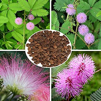 100pcs Sensitive Plant Perennial Herb Seeds Garden Mimosa Pudica Potted