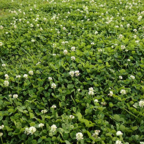 Outsidepride White Dutch Clover Seed: Nitro-Coated, Inoculated - 5 LBS from Outsidepride