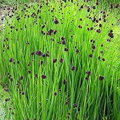 Organic Juncus Starhead Grass Seeds 25 Multi Seed Seeds Ornamental Grass : Garden & Outdoor