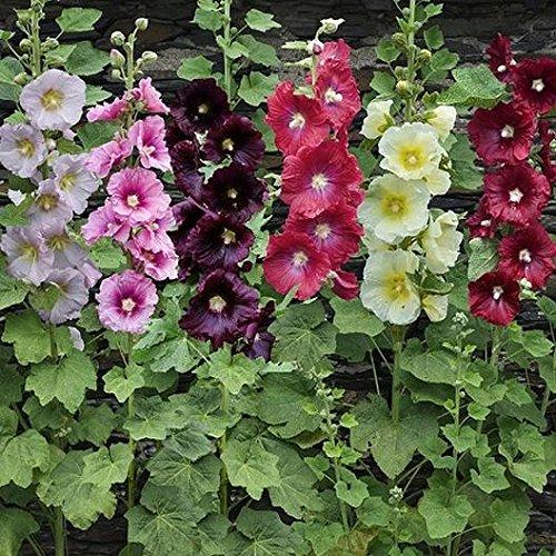 David's Garden Seeds Flower Hollyhock Single Mix SL9099SV (Multi) 200 Non-GMO, Open Pollinated Seeds