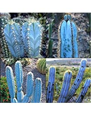 * Pilosocereus Magnificus * Amazing Blue Sky Cactus * Rare * 5 Seeds * Limited *