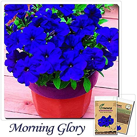 Amazon com : Mayan Seeds LLC Bonsai Flower Seeds Morning