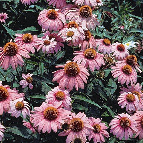 Grow Purple Coneflower - Burpee Magnus Echinacea Seeds 50 seeds