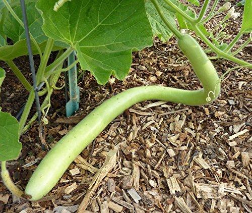 Cucuzzi (Italian Edible) Gourd Seed, much like summer squash(25 Seeds) (Edible Gourds)