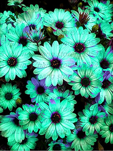 30pcs/bag African rare Blue Eyed Daisy Seeds Osteospermum for sale  Delivered anywhere in USA