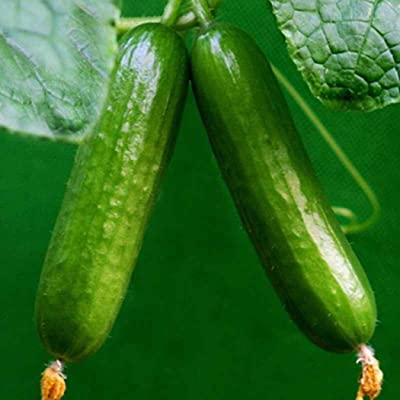 MelysUS Garden-Fresh and Organic Persian Beit Alpha Cucumber Seeds Dutch Black Beauty Zucchini Seeds Heirloom Non-GMO Crispy : Garden & Outdoor