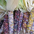 Corn Garden Seeds - Glass Gem Popcorn - Non-GMO, Ornamental, Organic Pop Corn Gardening Seed
