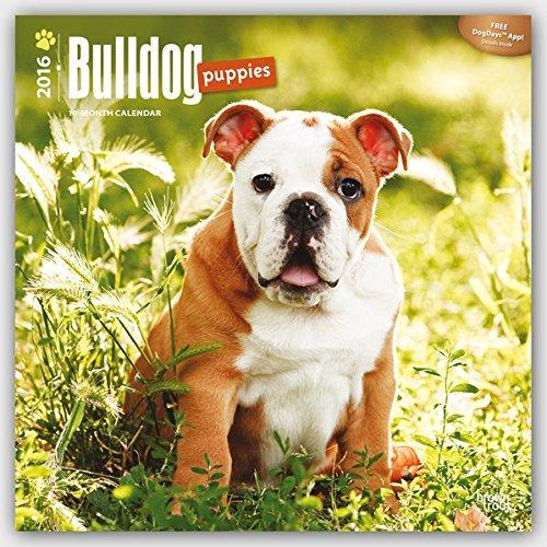 Bulldog Puppies 2016 - Bulldoggen Welpen - 18-Monatskalender mit freier DogDays-App: Original BrownTrout-Kalender [Mehrsprachig] [Kalender] (Wall-Kalender)