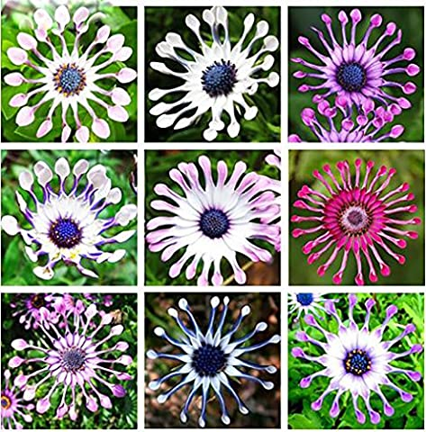 Yongyut 5 Colors Available Hot Selling 100 pcs Osteospermum Seeds Potted Flowering Plants Blue Daisy Flower Seeds