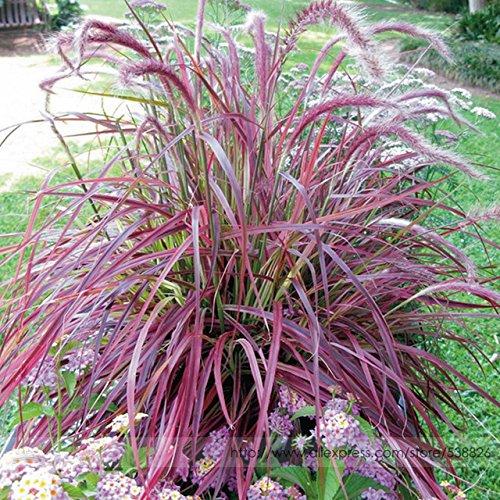 Half-Hardy Perennial Fountain Grass Pennisetum Setaceum Fireworks Seeds , 50 Seeds / Bag, Pennisetum Seed