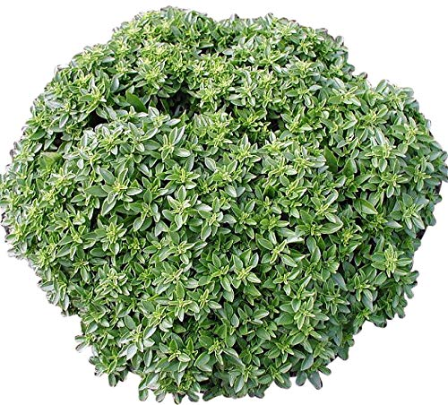 (300+ ORGANICALLY GROWN Dwarf Greek Basil Seeds Heirloom NON-GMO Fragrant, Delicious and Flavorful, From USA)