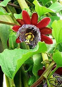 TROPICA - Grenadilla del Rey (Passiflora quadrangularis) - 12 semillas- Plantes grimpantes