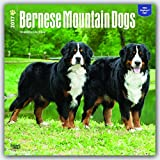 Bernese Mountain Dogs 2017 Square