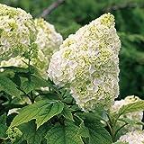 50 seeds Snow Queen Oakleaf Hydrangea