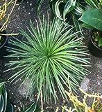 """AGAVE - GEMINIFLORA - LIVE PLANT - 6"""" POTS - LARGE - 1 PLANT"""