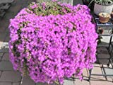 succulent ground cover 18 cuttings Ice Plant Purple ground Cover RARE Cactus Succulent Flower Pink