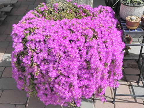 18 cuttings Ice Plant Purple ground Cover RARE Cactus Succulent Flower Pink