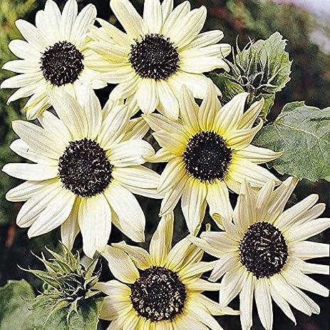 Amazon sunflower seeds italian white packet pale yellow sunflower seeds italian white packet pale yellow flowers mightylinksfo