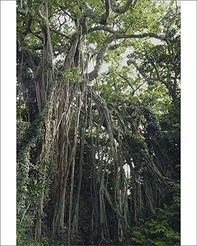 Media Storehouse 10x8 Print of Chinese Banyan (Ficus microcarpa) (18990855)