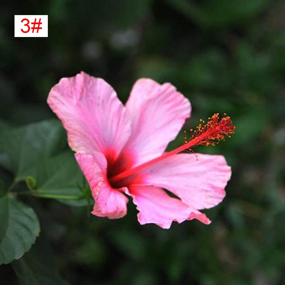 Amazon 100pcsbag Beautiful Rainbow Color Hibiscus Flower Seed