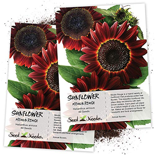 (Seed Needs, Moulin Rouge Sunflower (Helianthus annuus) Twin Pack of 40 Seeds Each)