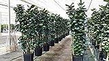 Polyscias scutellaria 'Fabian', Aralia - 3 Gallon Live Plant