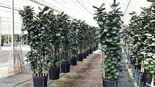 Polyscias scutellaria 'Fabian', Aralia - 3 Gallon Live Plant by PlantVine
