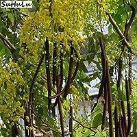 Bloom Green Co. 20 Unids Canela Bonsai Ãrbol de Hoja perenne Planta en Maceta para el jardín de su casa, Mini ...
