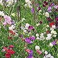 Sweet Pea Flower Garden Seeds - Knee Hi Mix - Annual Flower Gardening Seeds - Lathyrus odoratus