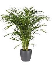 BOTANICLY | Plantes vertes d intérieur – Palmiste multipliant avec cache-pot anthracite comme un ensemble | Hauteur: 100 cm | Areca/Dypsis lutescens