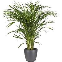 Planta de interior de Botanicly – Palma Areca en maceta antracita como un conjunto – Altura: 95 cm – Areca dypsis…