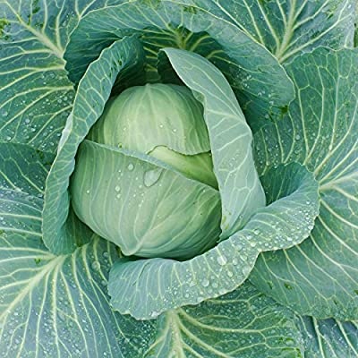 Cabbage Seeds - Late Flat Dutch - Non-GMO, Heirloom - Microgreens, Vegetable Garden