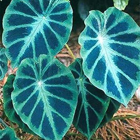 Amazon Com 50pcs Rare Blue Giant Taro Seed Bonsai Macrorrhiza
