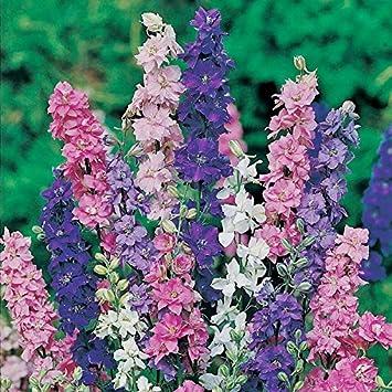 Amazon rocket larkspur seeds tall mix ounce bluepurple rocket larkspur seeds tall mix ounce bluepurplepinkwhite mightylinksfo