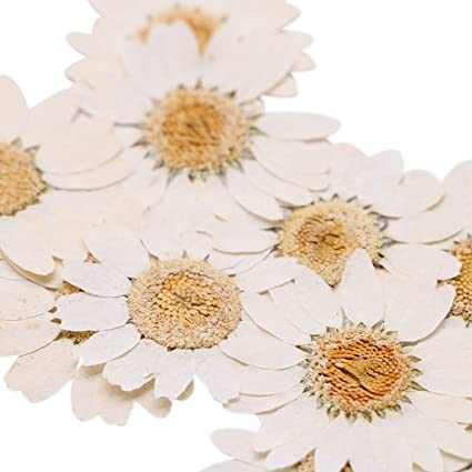 50pcs Pressed Natural Dried Flowers Chrysanthemum for Candle Making White