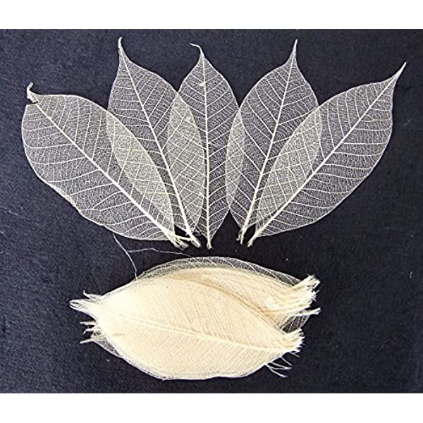 100 Skeleton Leaves Rubber Tree Natural color Scrapbooking Craft DIY CARD Wedding by ChangThai Design