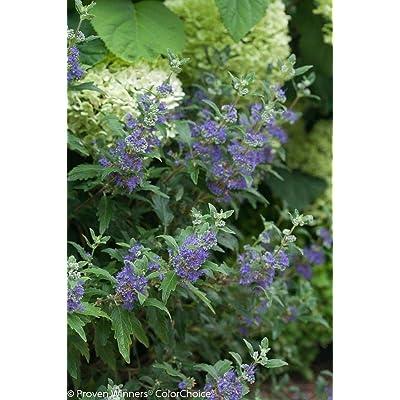 "Beyond Midnight Bluebeard - 4"" Pot - Caryopteris - Proven Winners by AchmadAnam : Garden & Outdoor"